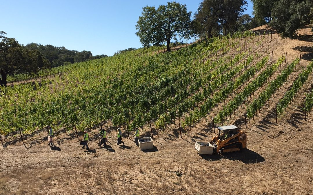 Sonoma grape harvest 2017, a brief video and pictorial essay…