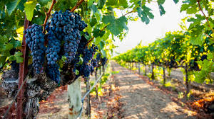 healthy grapes in July
