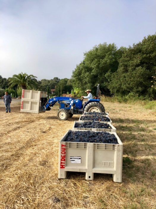 4 bins of Sagrantino from Hydeout Sonoma harvest 2019