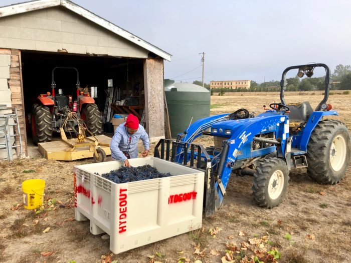 Sagrantino harvest near the barn at Hydeout Sonoma 2019