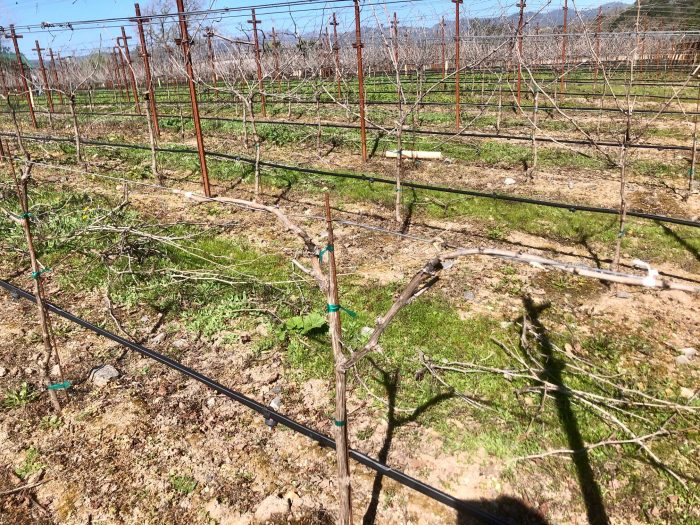 Vineyard canes and spurs tied to training wire