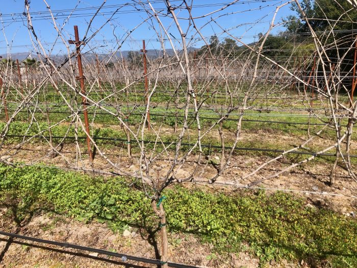 Vineyard unpruned vine